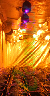 PRO-LED 100W with HPSH COBs growing Cannabis